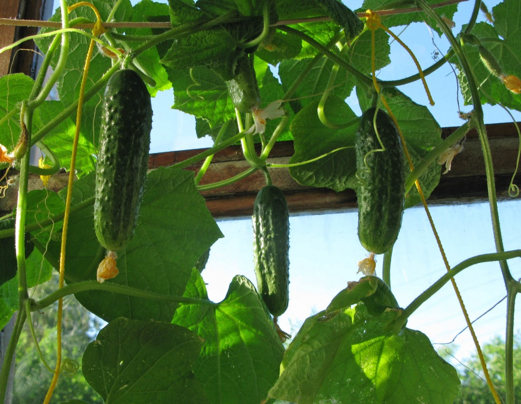 Выращивание огурцов на подоконнике зимой - подкормки, фото и